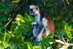 Red Colobus Monkey Mother with Baby